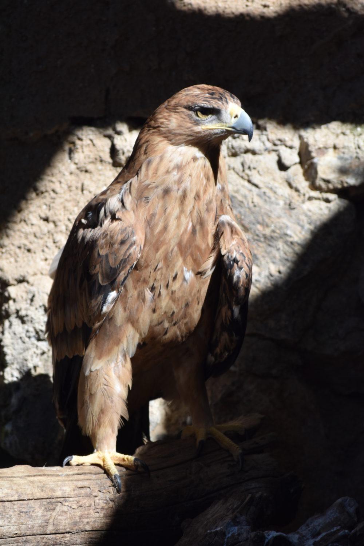 Águila Imperial Kuna Ibérica